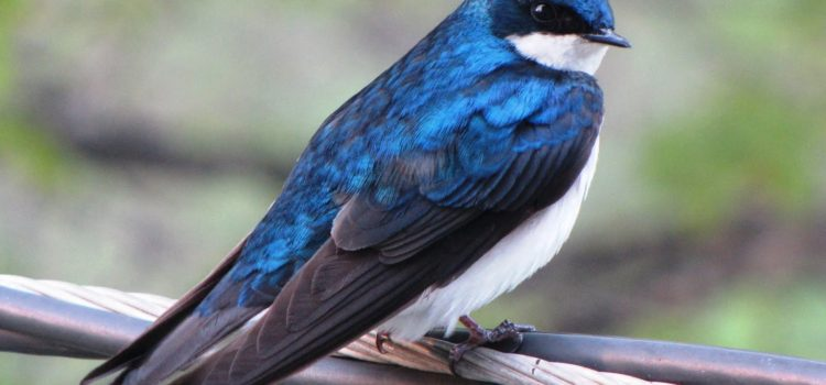 Country Ecology: Tree Swallow Populations