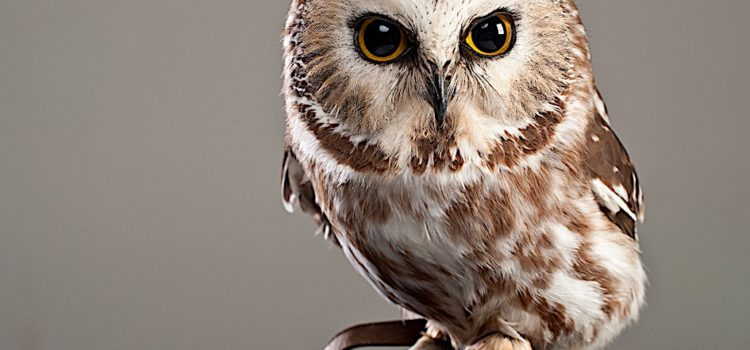 Country Ecology: The Saw-Whet Owl