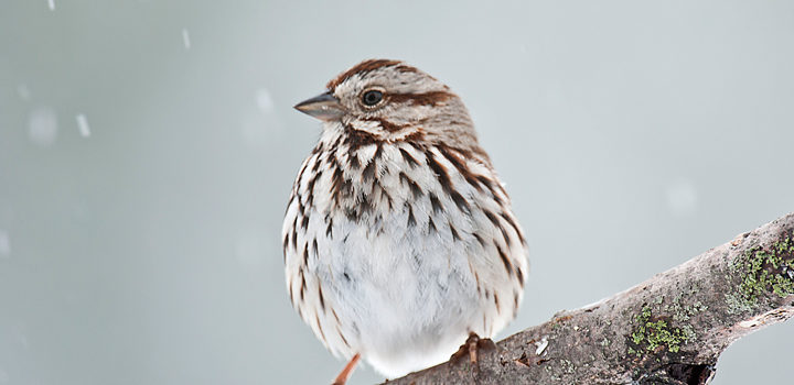 Country Ecology: Song Sparrows